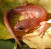 Image of ensatina salamander species