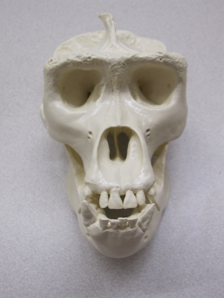 Photo of A. boisei skull model