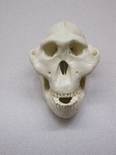 Photo of G. gorilla skull model