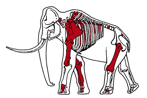 Image of Mammoth Skeleton
