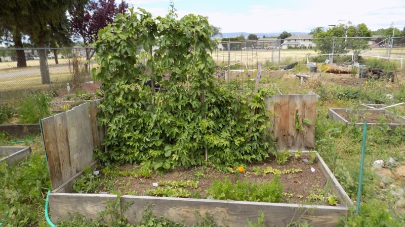 CWU's campus community garden